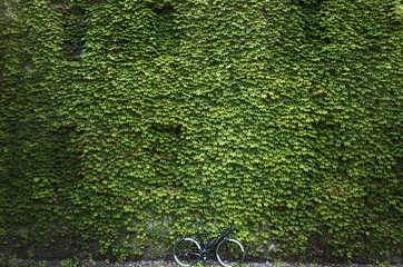Lush ivy on wall and lone bicycle
