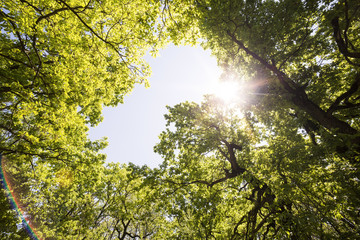 Low angle view of tree tops and sun flare in forest