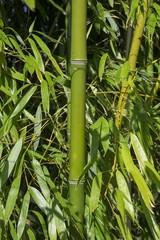 Bambus (Bambusoideae)