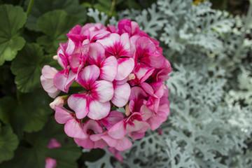 Pink flower bush in the garden beautifully.