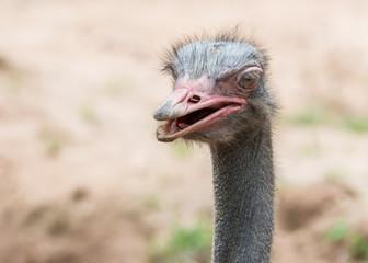 Close up head of Ostrich