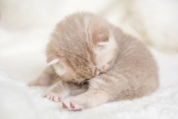 Little light lop-eared kitten with blue eyes on a fur mat