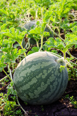 Watermelons on the green melon field in the summer. Selective focus