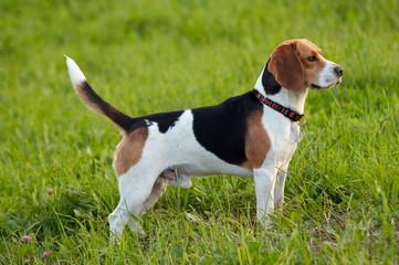 Hound dog English Beagle on meadow