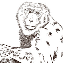 Foto op Plexiglas Hand getrokken schets van dieren Chimpanzee drawing vector. Animal artistic, use for your design.