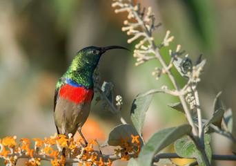 Sonnenvogel / Kolibri