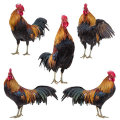 Rooster, Cock, Rooster collection set isolated on white