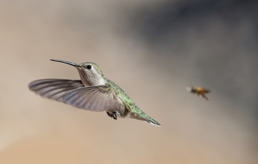 Kolibri mit Biene