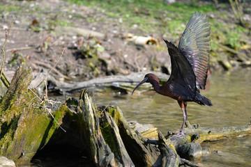 Schwarzer Ibis mit gespreizten Flügeln