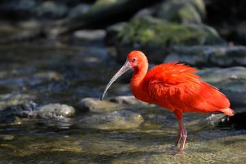 Roter Ibis im Bachlauf