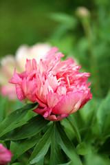 Photo of beautiful pink peony