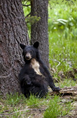 Small American black bear (Ursus americanus) with rare white chest markings, on the Big Trees trail, Round Meadow, Sequoia National Park, Sierra Nevada, California, United States of America, North America