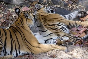 Bengal tigers, Panthera tigris tigris, Bandhavgarh National Park, Madhya Pradesh, India, Asia
