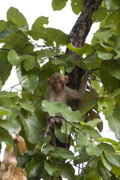 Rhesus Macaque, (Macaca mulatta), Bandhavgarh N.P., Madhya Pradesh