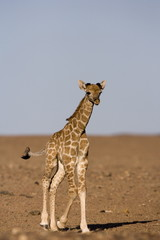 Young desert giraffe (Giraffa camelopardalis capensis), Namibia, Africa