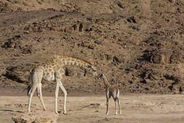 Desert giraffe (Giraffa camelopardalis capensis) with young, Namibia, Africa
