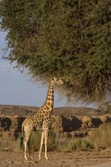 Desert giraffe (Giraffa camelopardalis capensis), Namibia, Africa