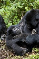 Mountain gorillas (Gorilla gorilla beringei) playing, Rwanda (Congo border), Africa