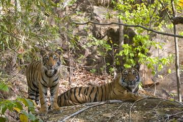 Indian Tiger (Bengal tiger) (Panthera tigris tigris) yawning, Bandhavgarh National Park, Madhya Pradesh state, India, Asia