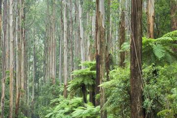 Rainforest, Yarra Ranges National Park, Victoria, Australia, Pacific