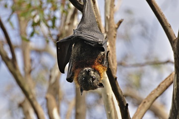 Grey-headed flying fox (Pteropus poliocephalus), Yarra Bend Park, Melbourne, Victoria, Australia, Pacific