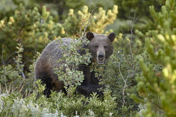 Grizzly bear (Ursus horribilis), Glacier National Park, Montana, United States of America, North America