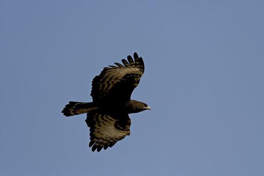 Long-crested eagle (Lophaetus occipitalis) in flight, Samburu National Reserve, Kenya