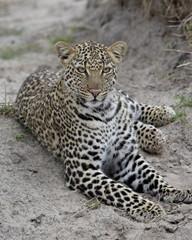 Leopard (Panthera pardus), Masai Mara National Reserve, Kenya, East Africa, Africa