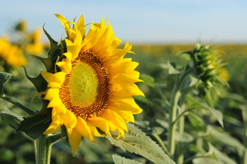 sunflower girasol