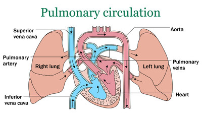 Pulmonary circulation vector