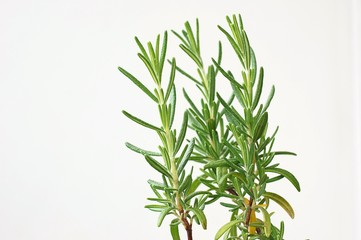 Fresh green herb rosemary on white background