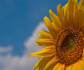 flower blooming sunflowers
