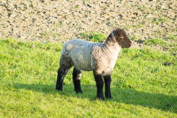Lamb with a black head