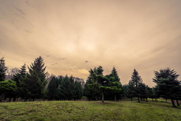 Pine trees at dawn in autumn