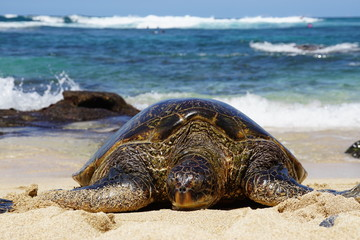 Wild Honu giant Hawaiian green sea turtles at Hookipa Beach Park, Maui