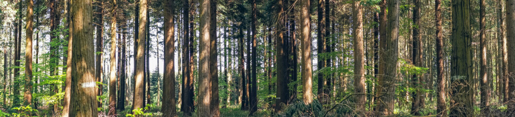 Pine trees in a forest panorama landscape