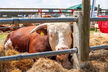 Hereford bull resting in hay