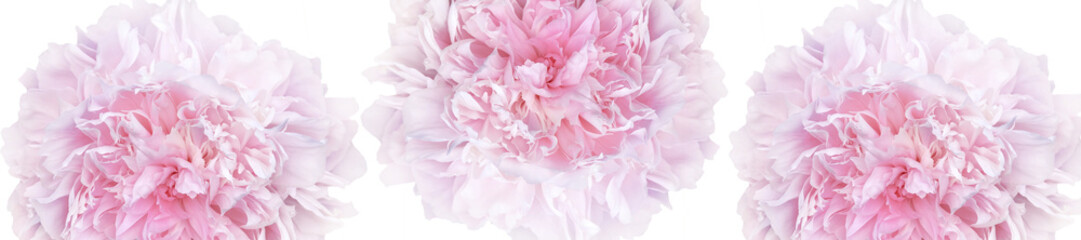 panorama pattern of pale pink peonies luxury fresh