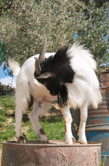 Portrait of goat urinate in the garden