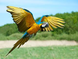 Niebieski i żółty ara (Ara ararauna)