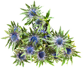 top view of fresh blue Thistle blossoms (eryngium)