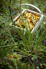 Basket of harvested Chanterelle mushrooms on grass