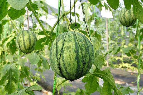 Fresh watermelon hanging with mesh.