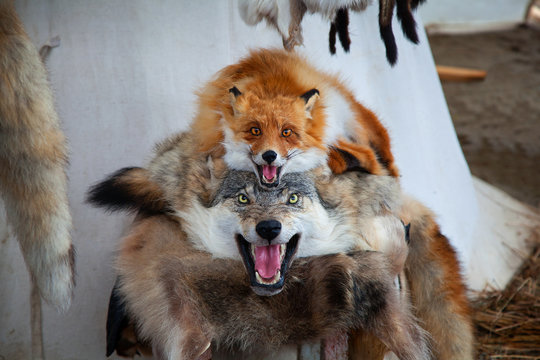 stuffed foxes and a wolf. the skins of dead fox and wolf. farmer's market, village market