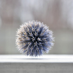 Selective focus of Globe Thistle
