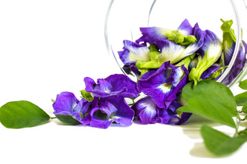 Butterfly pea, beautiful purple flowers in a glass jar on white background with copy space. Blue nature color, pigments from the flowers can be used for food color and Drinking herbal.