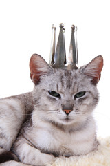 gray cat as princess isolated