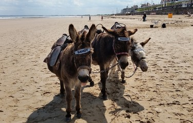 Seaside Donkeys, Bridlington, East Yorkshire