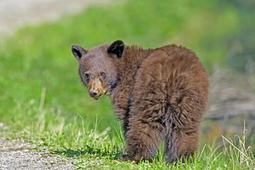Cute cinnamon colored Black Bear Cub at edge of rural road, looking back