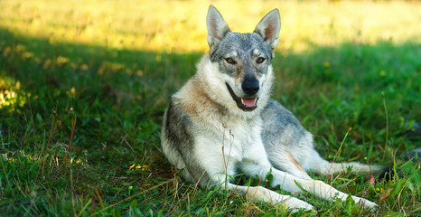 domesticated wolf dog resting relaxed on a meadow. Czechoslovakian shepherd. Eye contact.